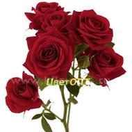 Купить кустовые розы екатеринбург заказ и доставка цветов в благовещенске