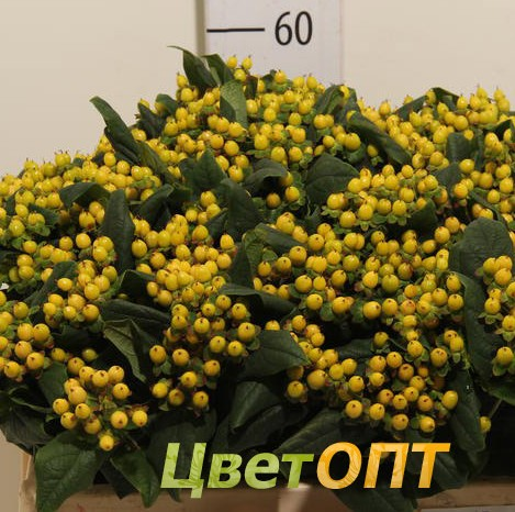 Hypericum Lemon Flair